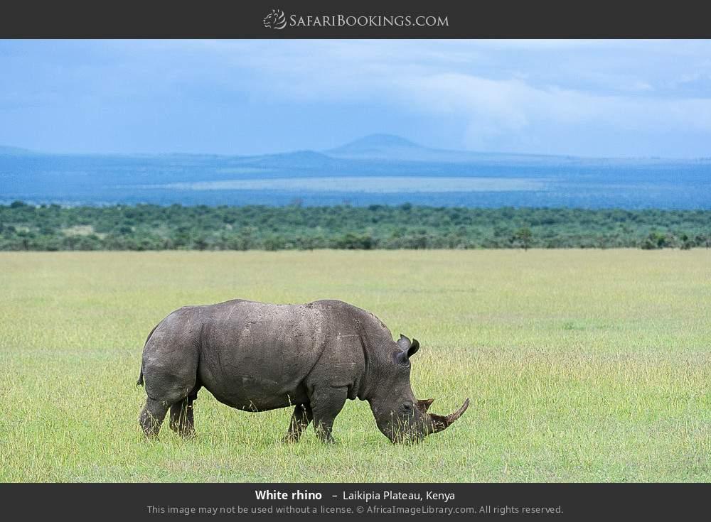 White rhino  in Laikipia Plateau, Kenya