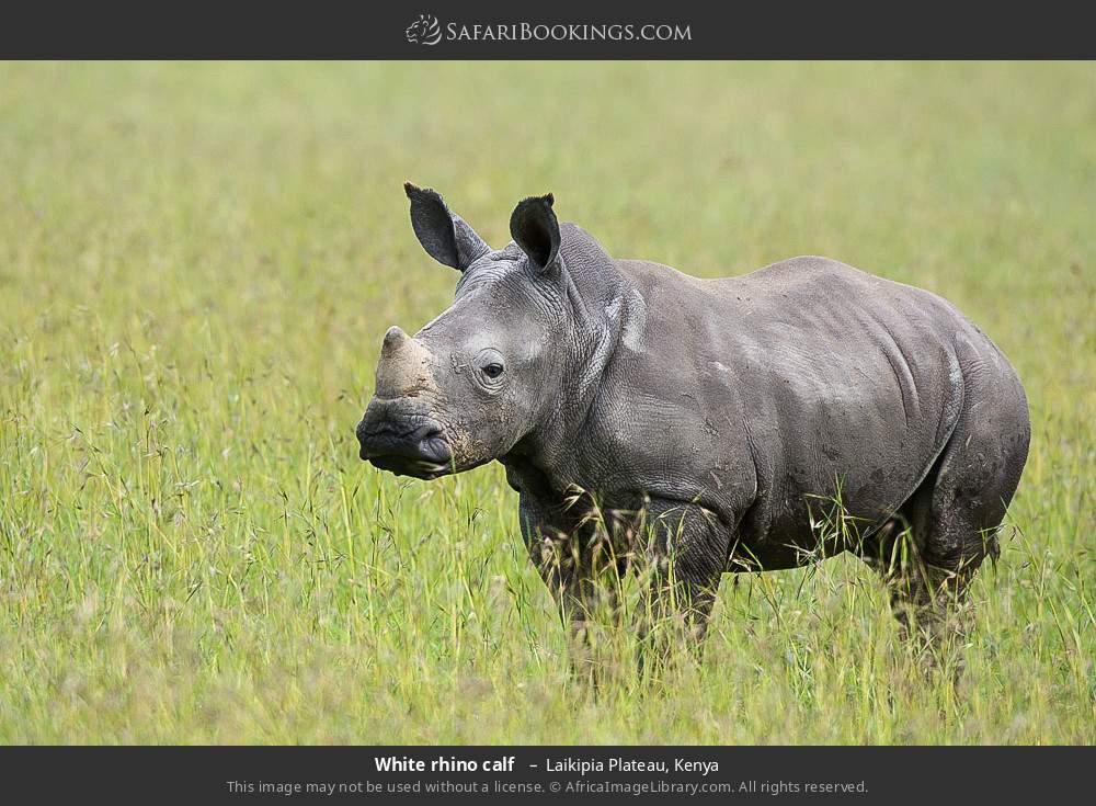 White rhino calf  in Laikipia Plateau, Kenya