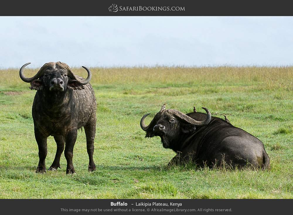 Buffalo  in Laikipia Plateau, Kenya
