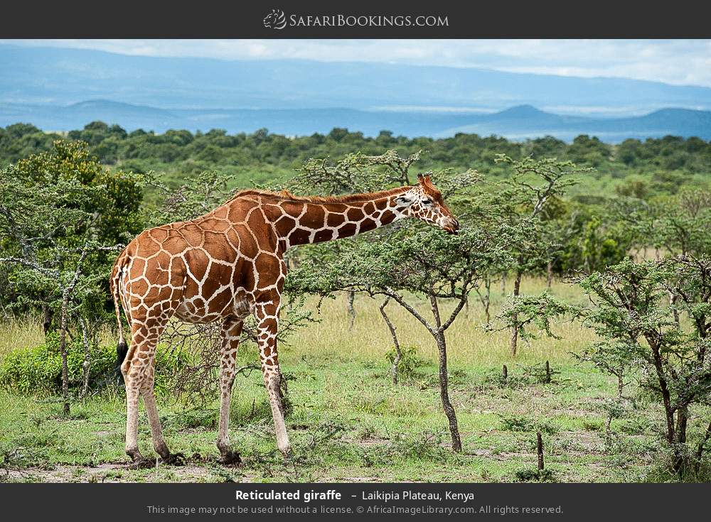 Reticulated giraffe  in Laikipia Plateau, Kenya