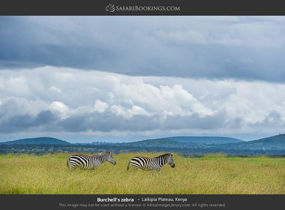 Burchell's zebra  in Laikipia Plateau, Kenya