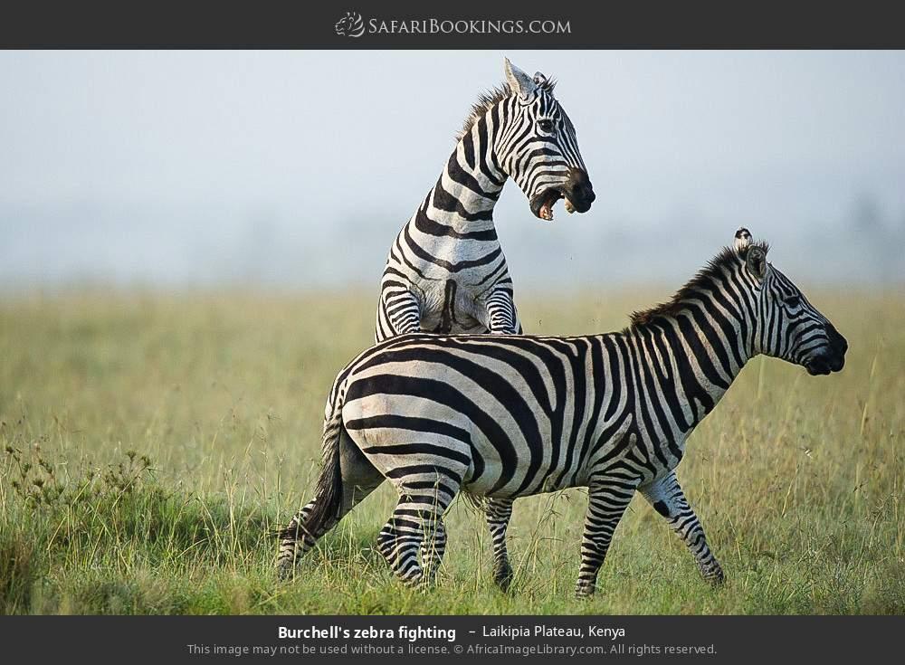 Burchell's zebra fighting  in Laikipia Plateau, Kenya