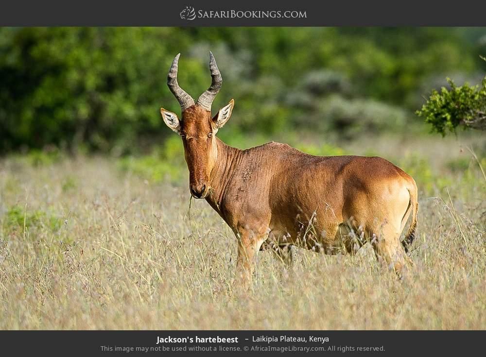 Jackson's hartebeest  in Laikipia Plateau, Kenya