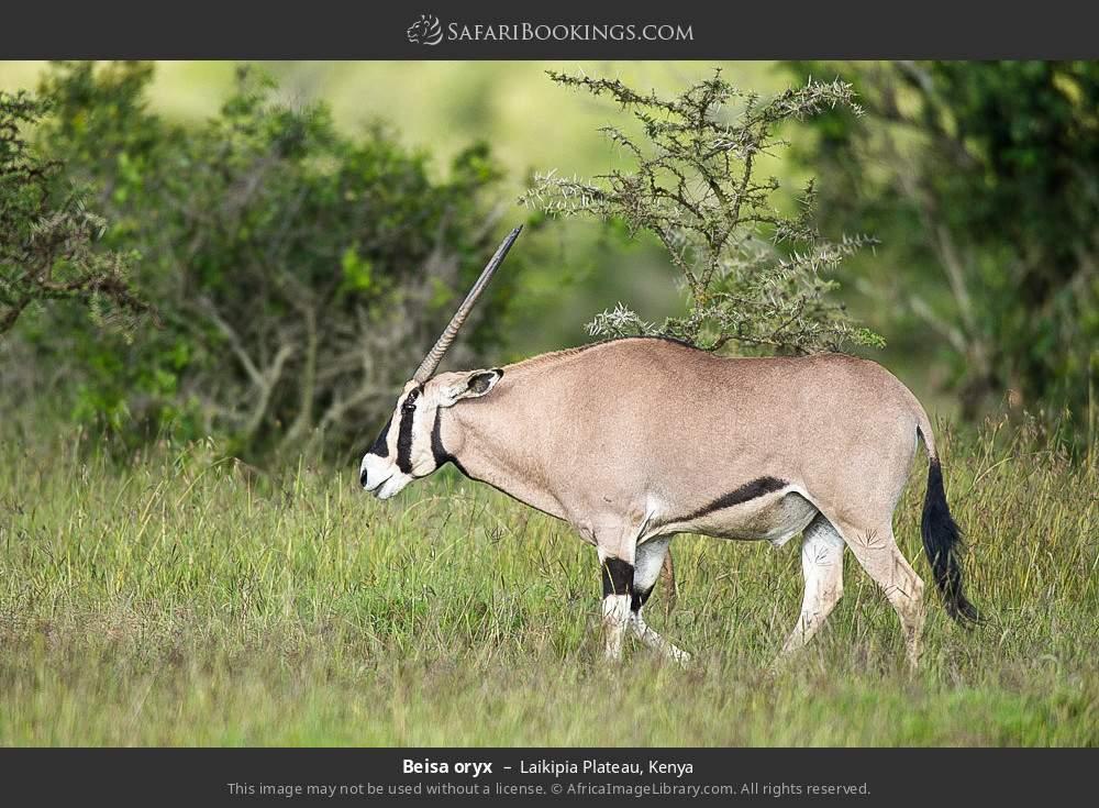 Beisa oryx in Laikipia Plateau, Kenya