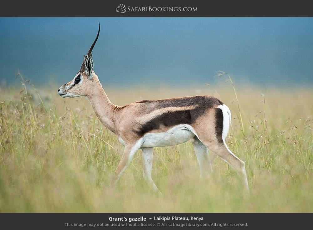 Grant's gazelle in Laikipia Plateau, Kenya