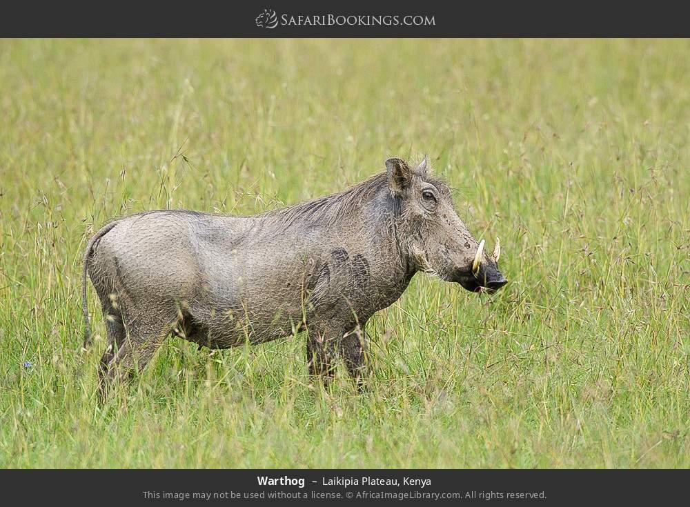 Warthog in Laikipia Plateau, Kenya