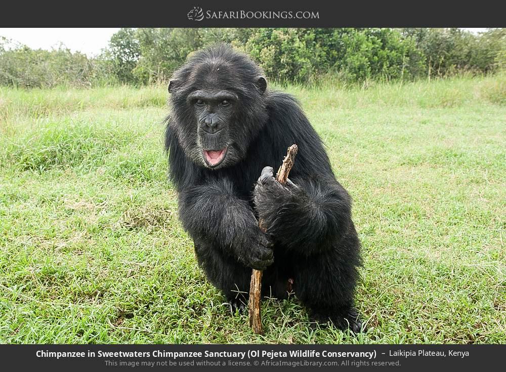 Chimpanzee in Sweetwaters Chimpanzee Sanctuary, Ol Pejeta Wildlife Conservancy in Laikipia Plateau, Kenya