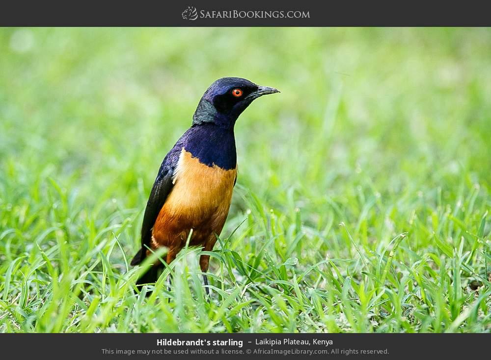 Hildebrandt's starling in Laikipia Plateau, Kenya