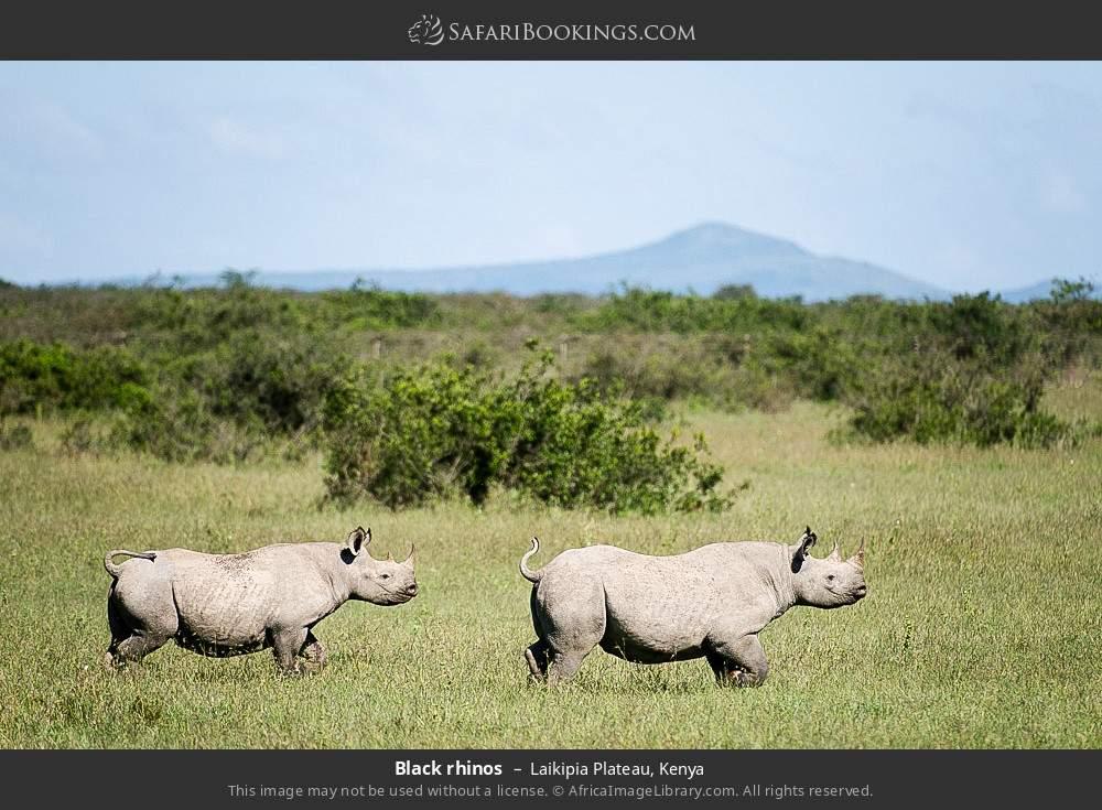 Black rhinos in Laikipia Plateau, Kenya