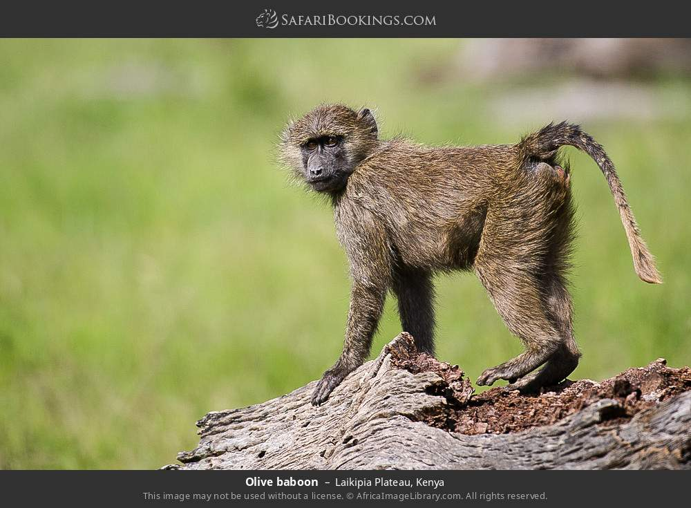 Olive baboon in Laikipia Plateau, Kenya