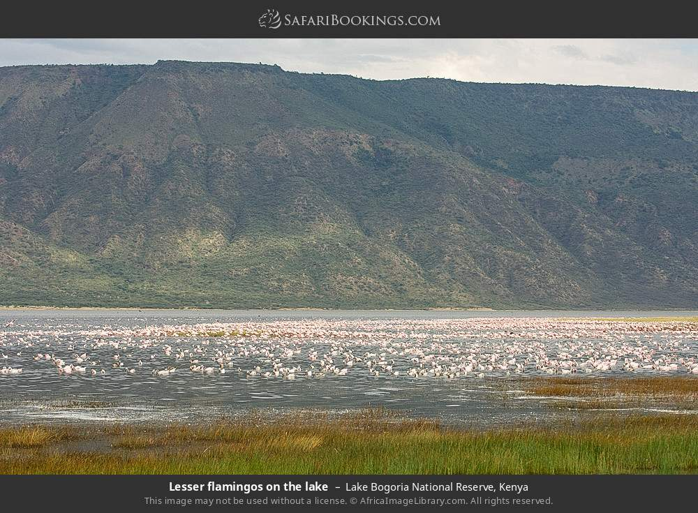 Lesser flamingos on the lake in Lake Bogoria National Reserve, Kenya