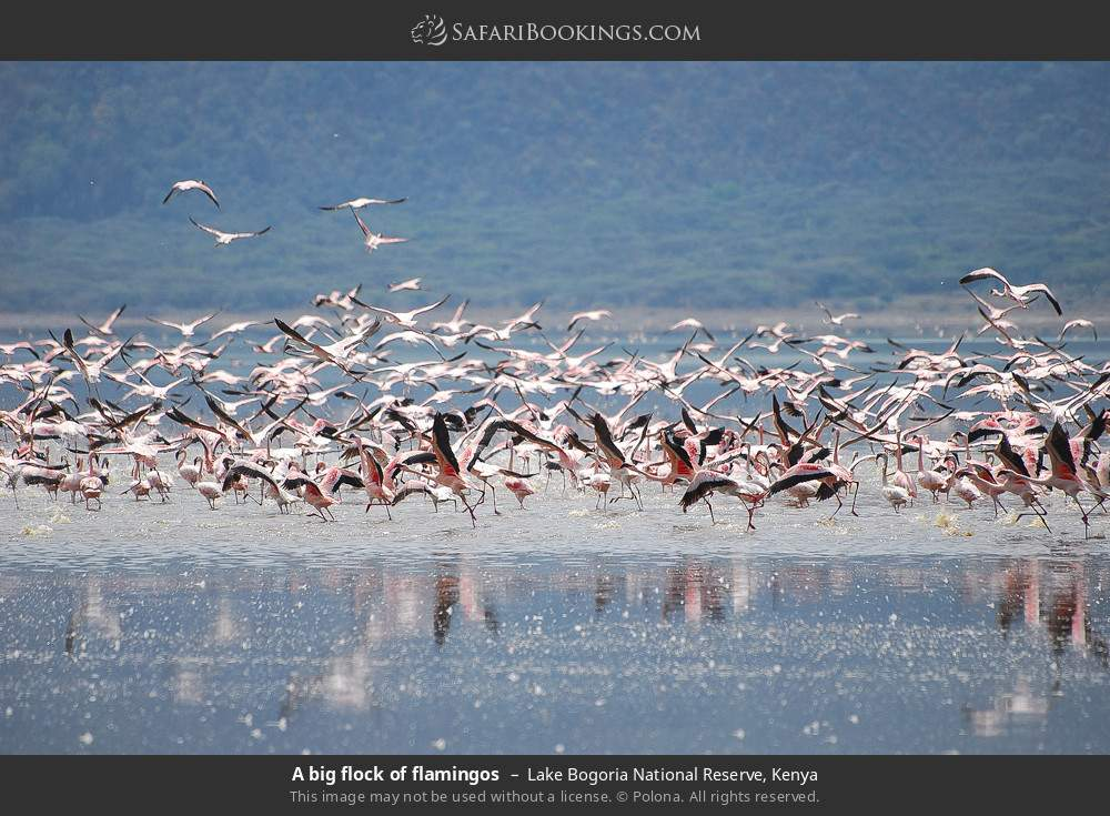 A big flock of flamingos in Lake Bogoria National Reserve, Kenya