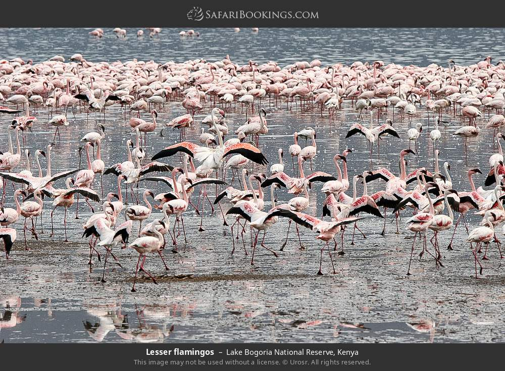 Lesser flamingos in Lake Bogoria National Reserve, Kenya