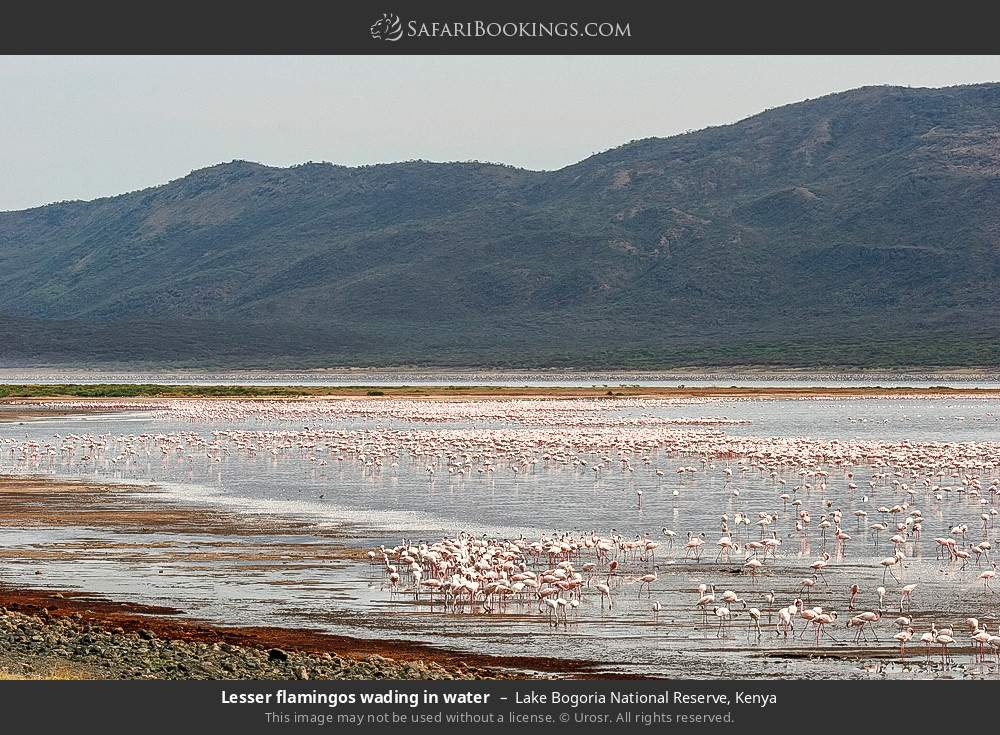 Lesser flamingos wading in water in Lake Bogoria National Reserve, Kenya