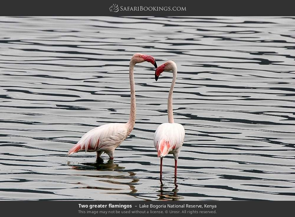 Two greater flamingos in Lake Bogoria National Reserve, Kenya