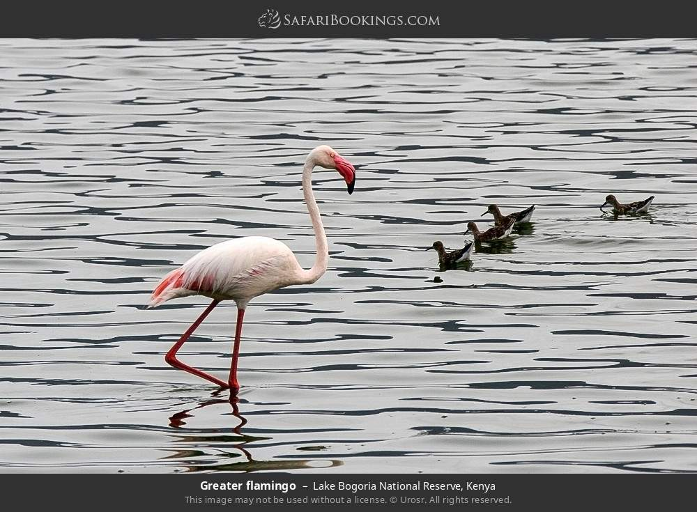 Greater flamingo in Lake Bogoria National Reserve, Kenya