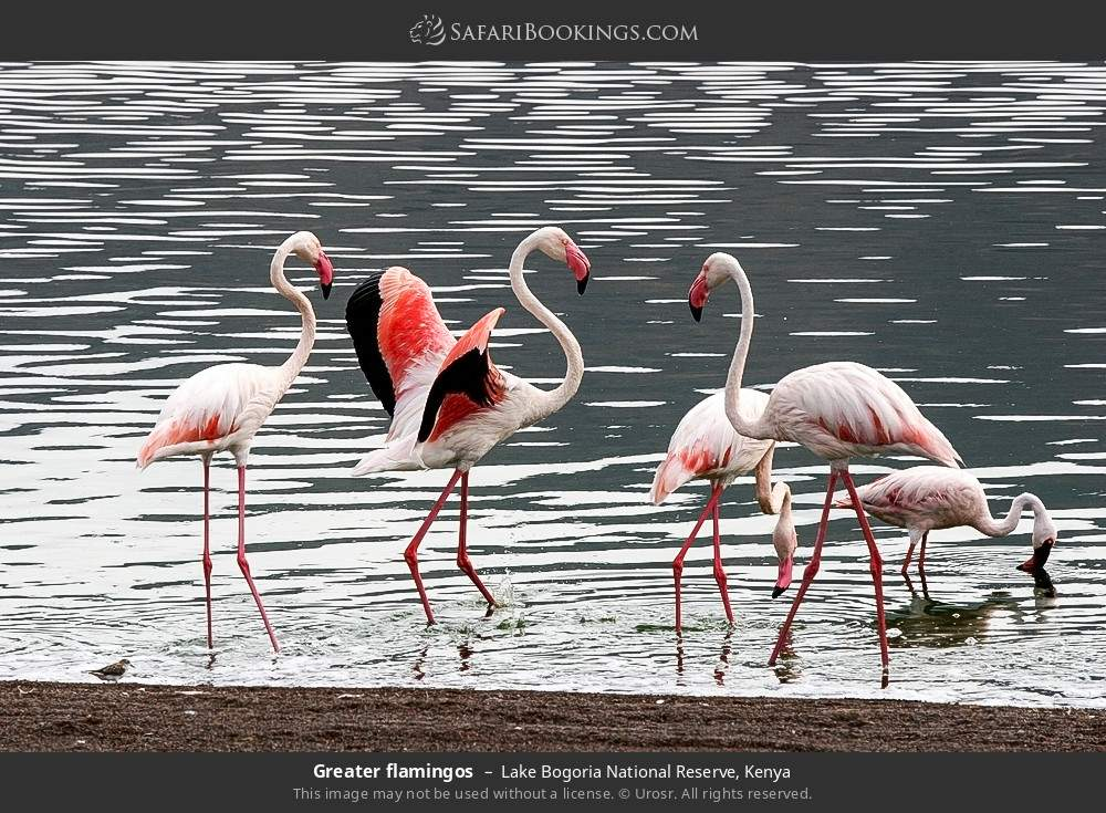 Greater flamingos in Lake Bogoria National Reserve, Kenya