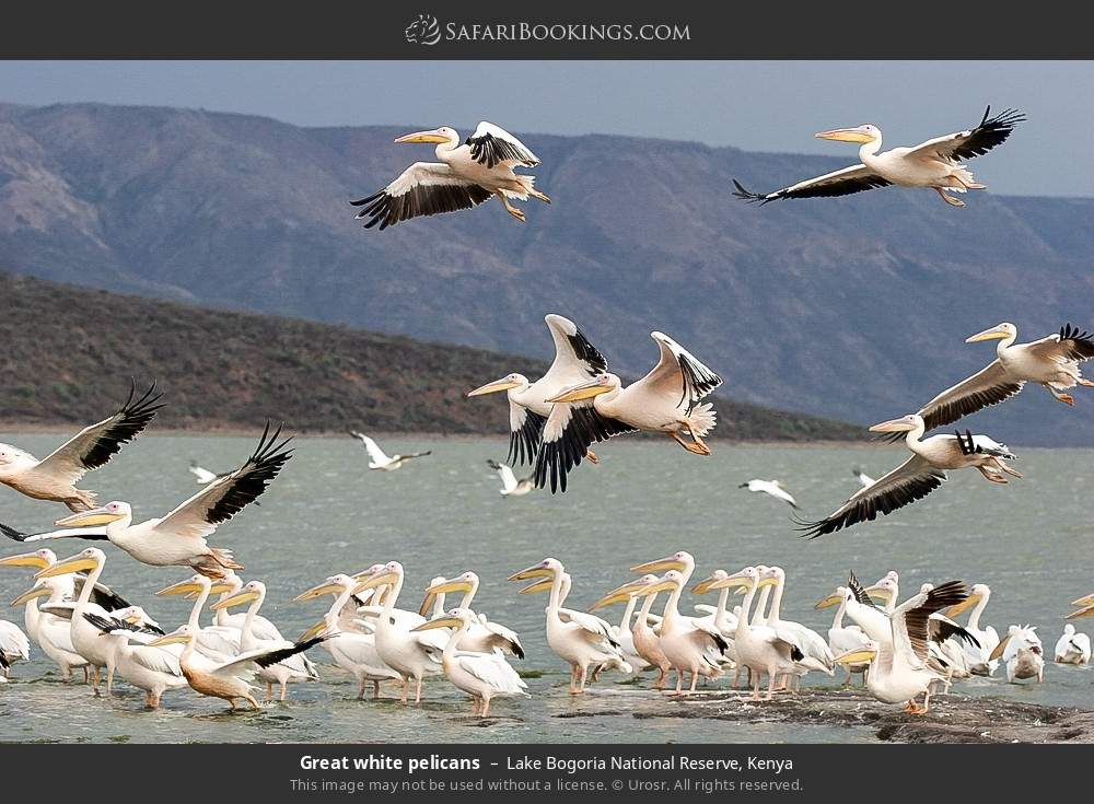 Great white pelicans in Lake Bogoria National Reserve, Kenya