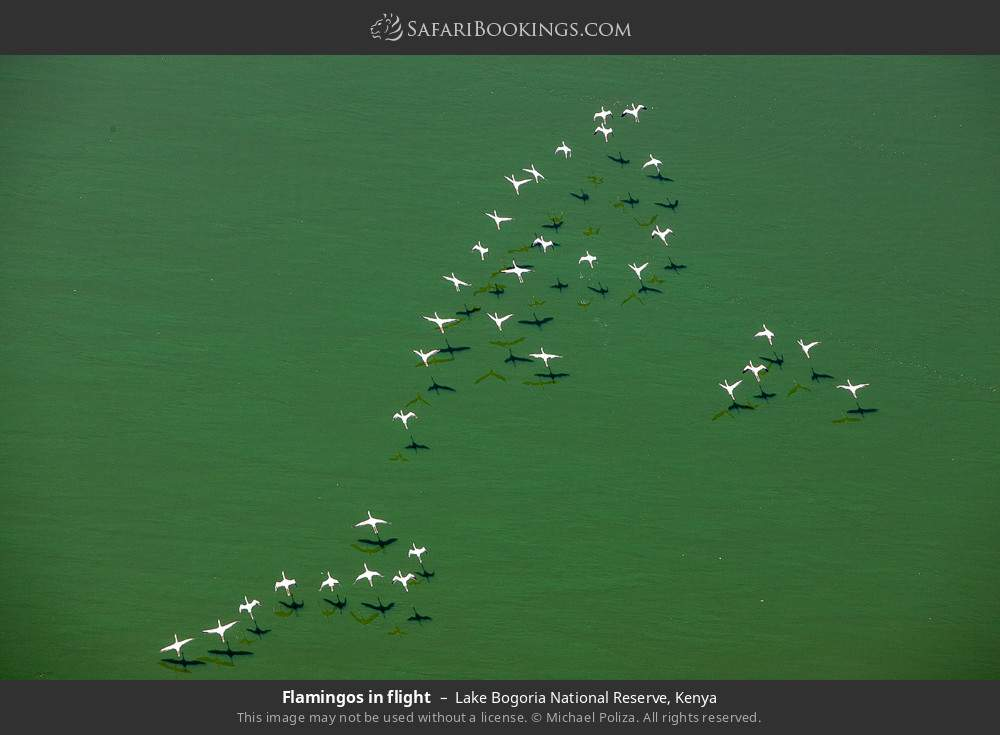 Flamingos in flight in Lake Bogoria National Reserve, Kenya