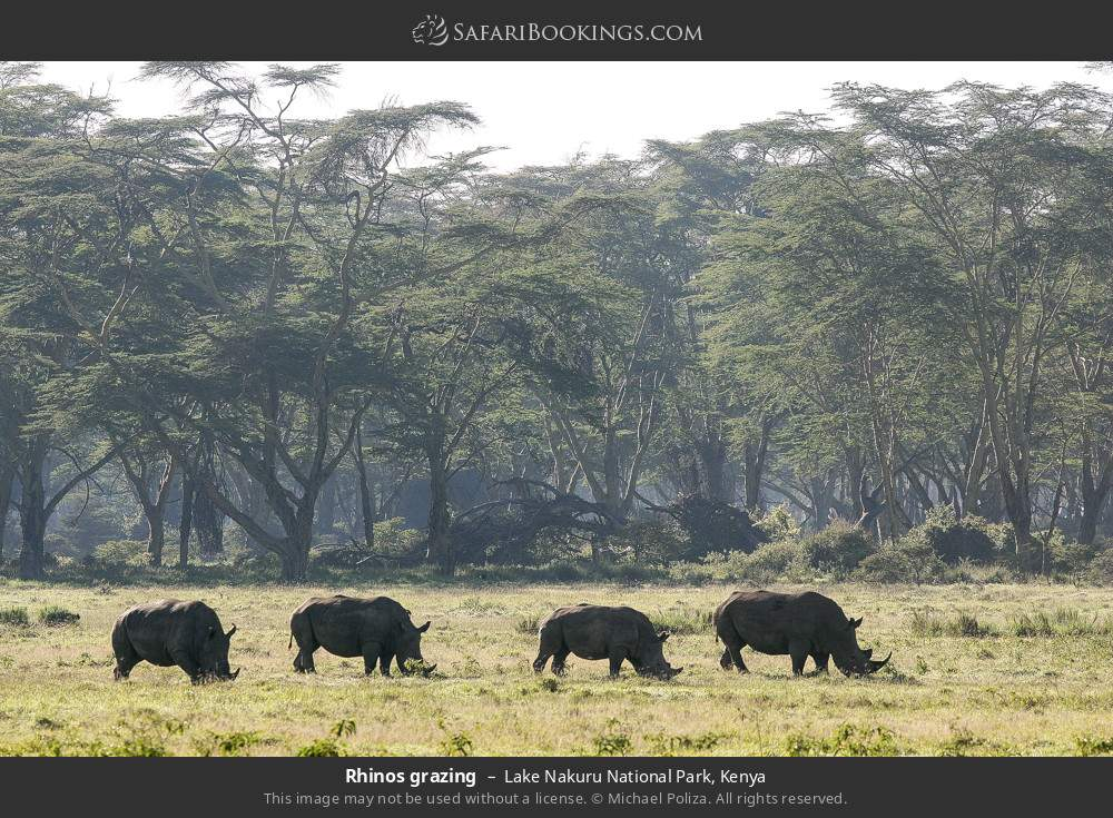 Rhinos grazing in Lake Nakuru National Park, Kenya