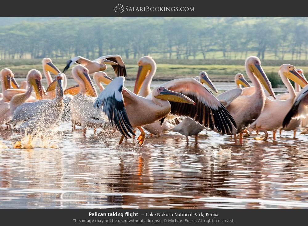 Pelican taking flight in Lake Nakuru National Park, Kenya
