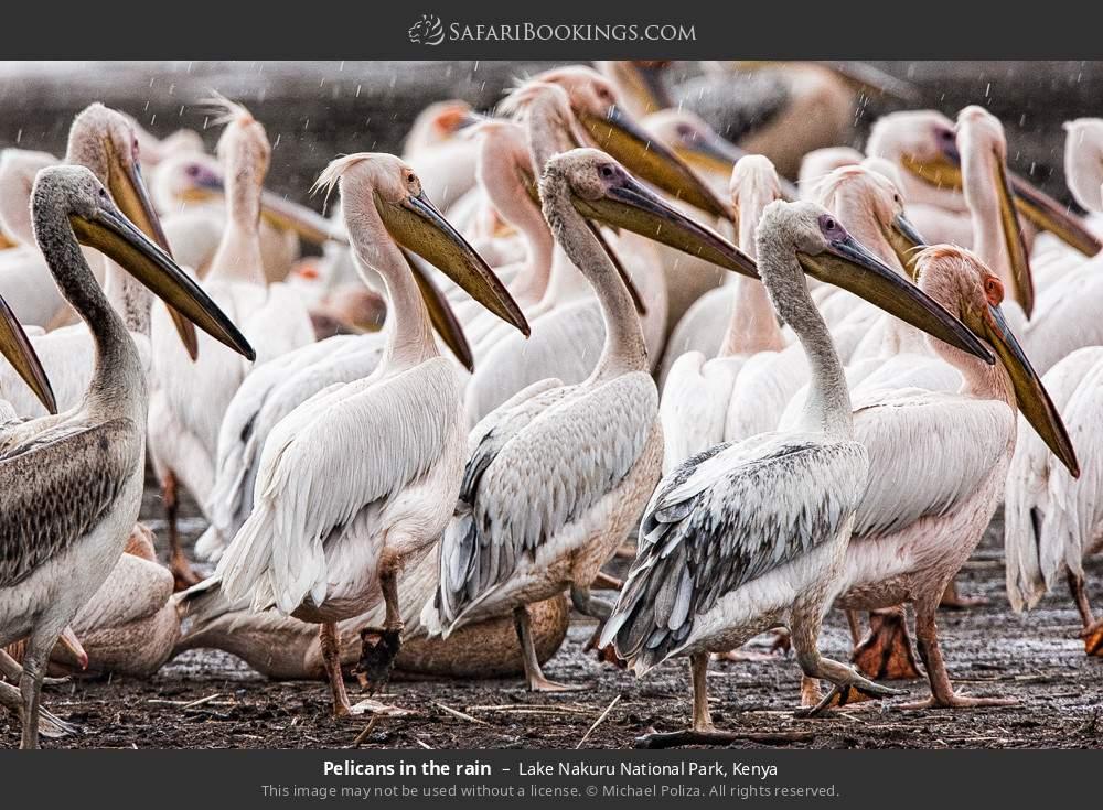 Pelicans in the rain in Lake Nakuru National Park, Kenya