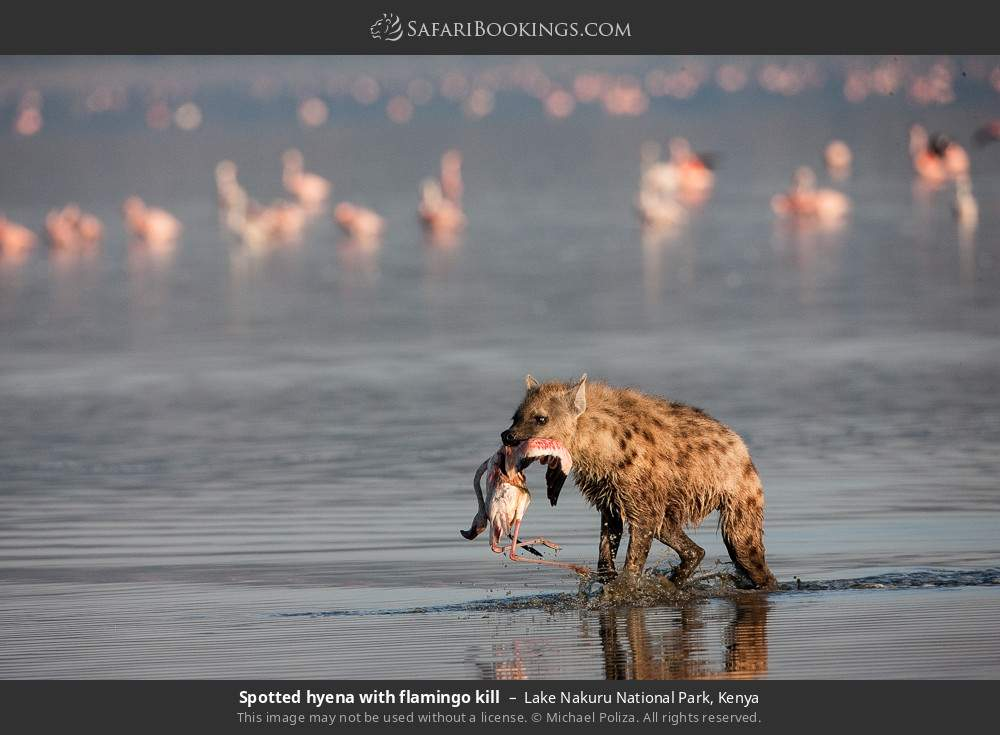 Spotted hyena with flamingo kill in Lake Nakuru National Park, Kenya