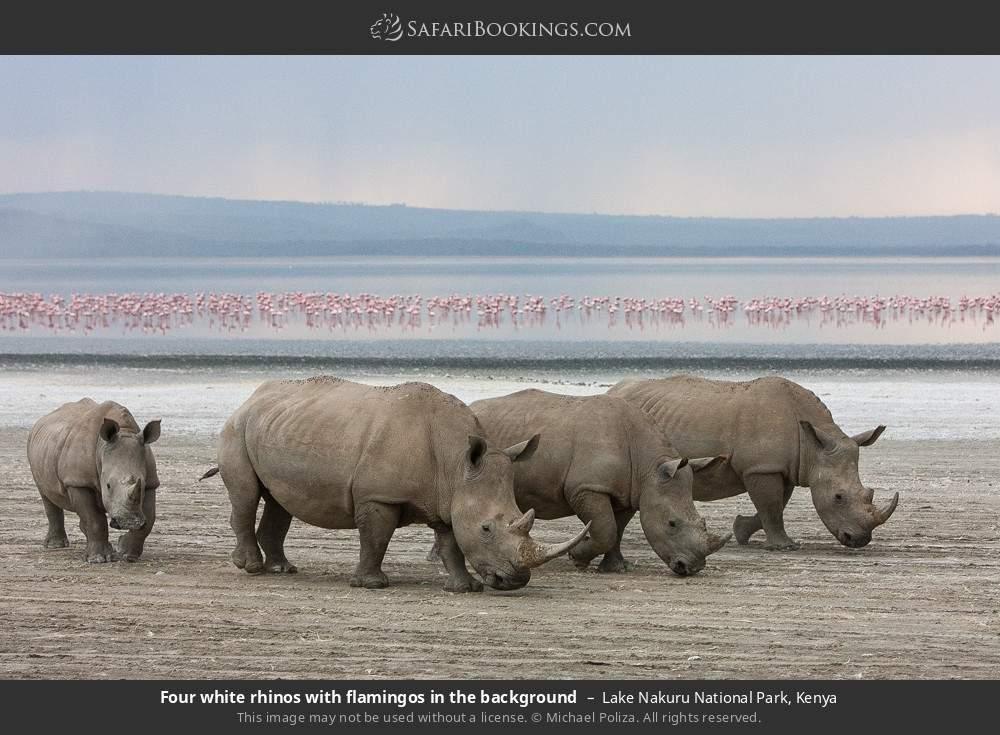Four white rhinos with flamingos in the background in Lake Nakuru National Park, Kenya