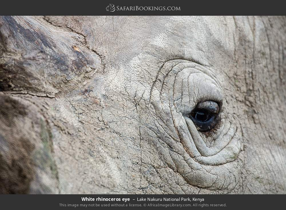 White rhinoceros eye in Lake Nakuru National Park, Kenya