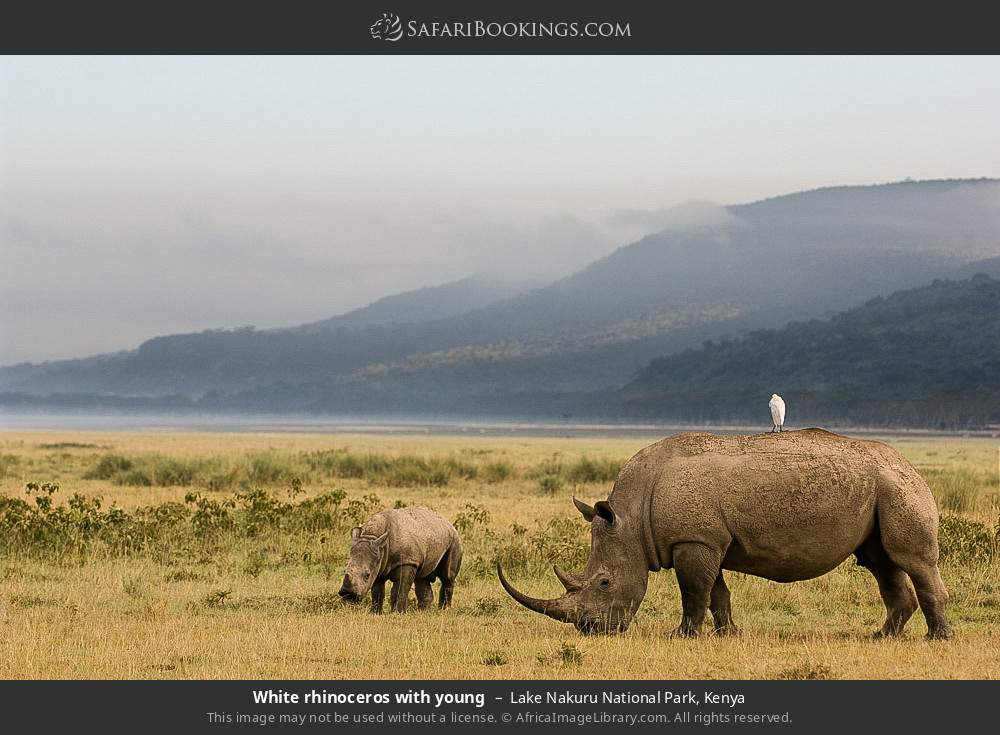 White rhinoceros with young in Lake Nakuru National Park, Kenya