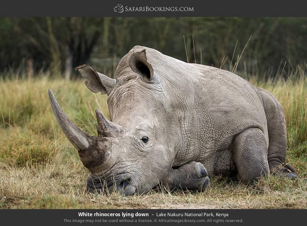 White rhinoceros laying down in Lake Nakuru National Park, Kenya