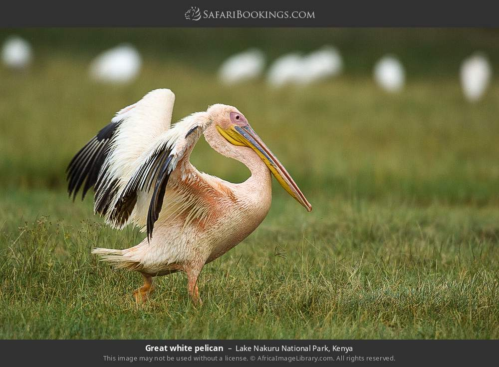 Great white pelican in Lake Nakuru National Park, Kenya