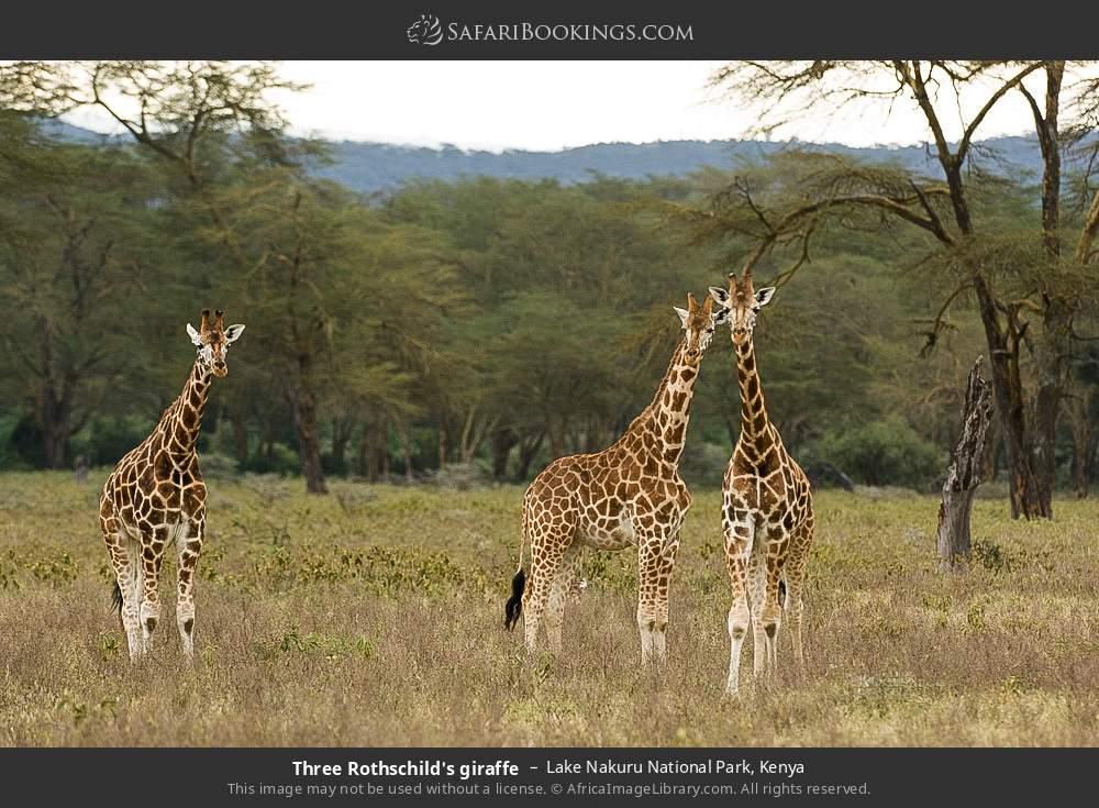 Three Rothschild's giraffe in Lake Nakuru National Park, Kenya