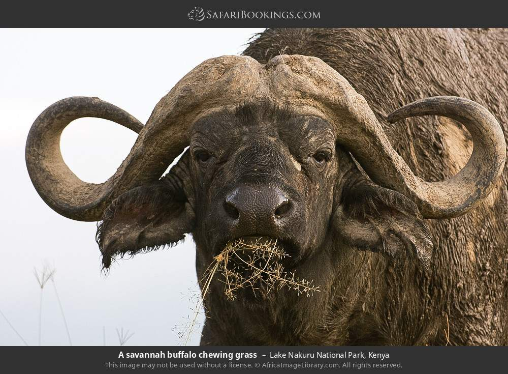 A savanna buffalo chewing grass in Lake Nakuru National Park, Kenya