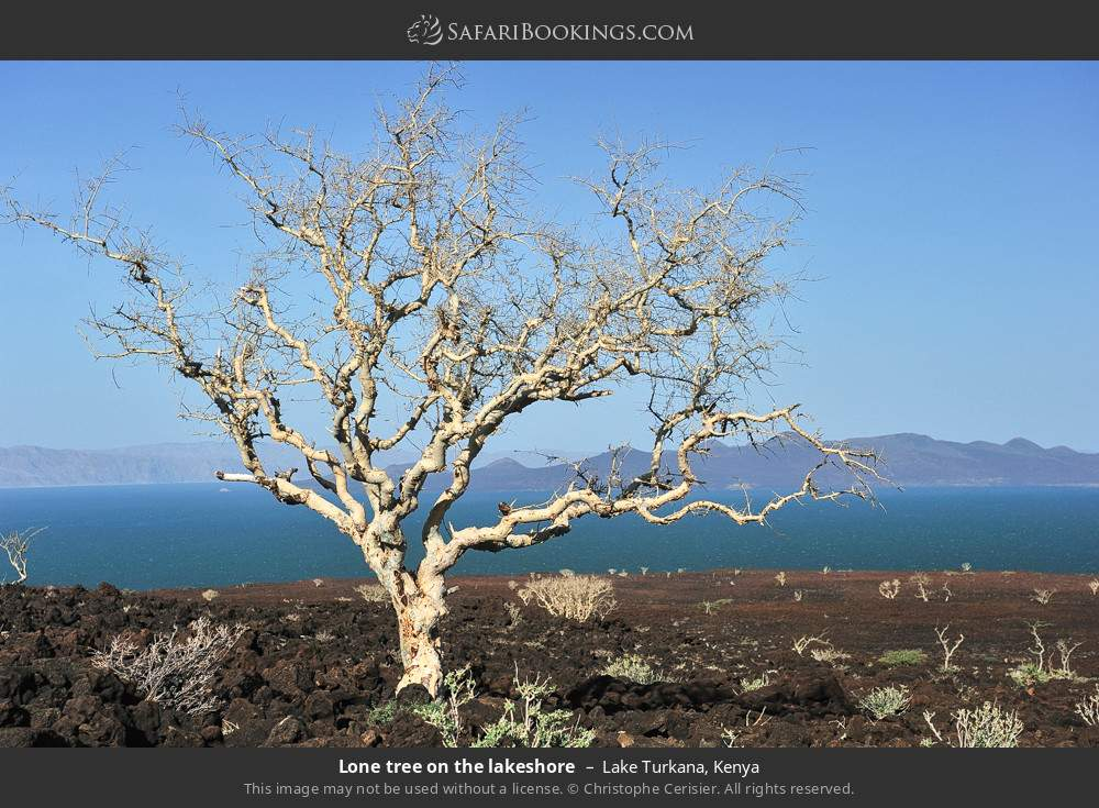 Lone tree on the lake shore in Lake Turkana, Kenya