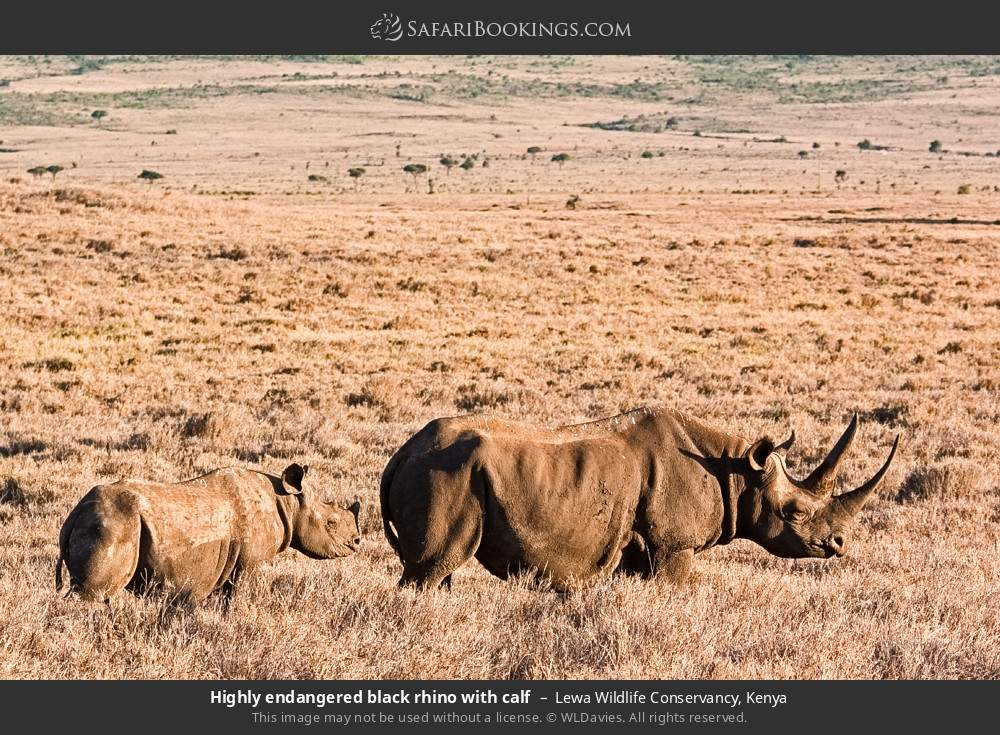 Highly endangered black rhino with calf in Lewa Wildlife Conservancy, Kenya