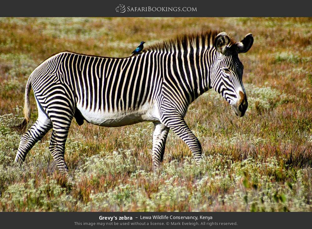 Grevy's zebra in Lewa Wildlife Conservancy, Kenya