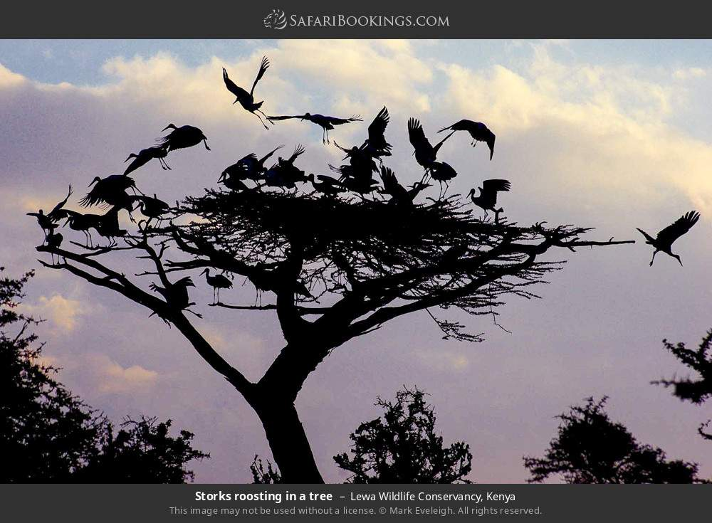 Storks roosting in a tree in Lewa Wildlife Conservancy, Kenya