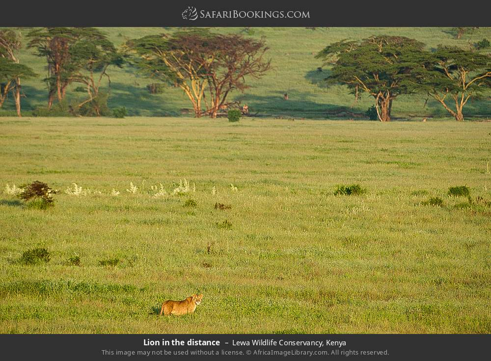 Lion in the distance in Lewa Wildlife Conservancy, Kenya