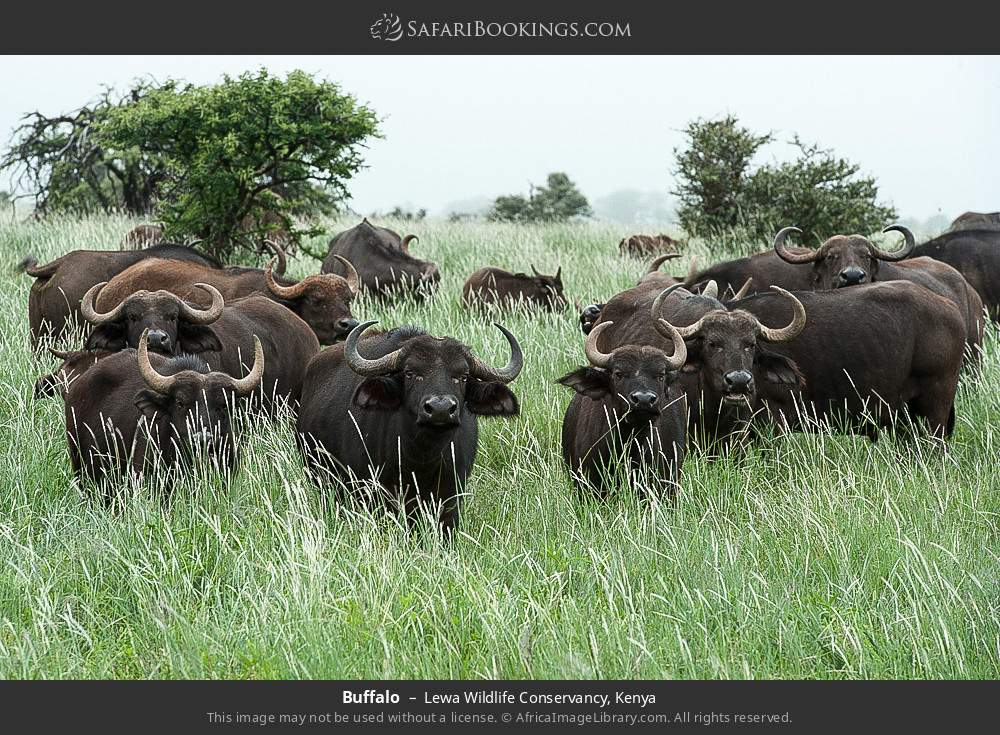 Buffalo in Lewa Wildlife Conservancy, Kenya