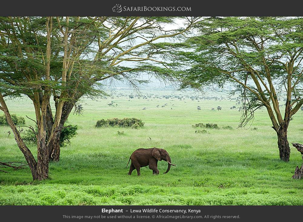 Elephant in Lewa Wildlife Conservancy, Kenya