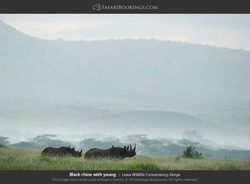 Black rhino with young in Lewa Wildlife Conservancy, Kenya