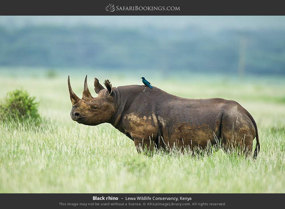 Black rhino in Lewa Wildlife Conservancy, Kenya