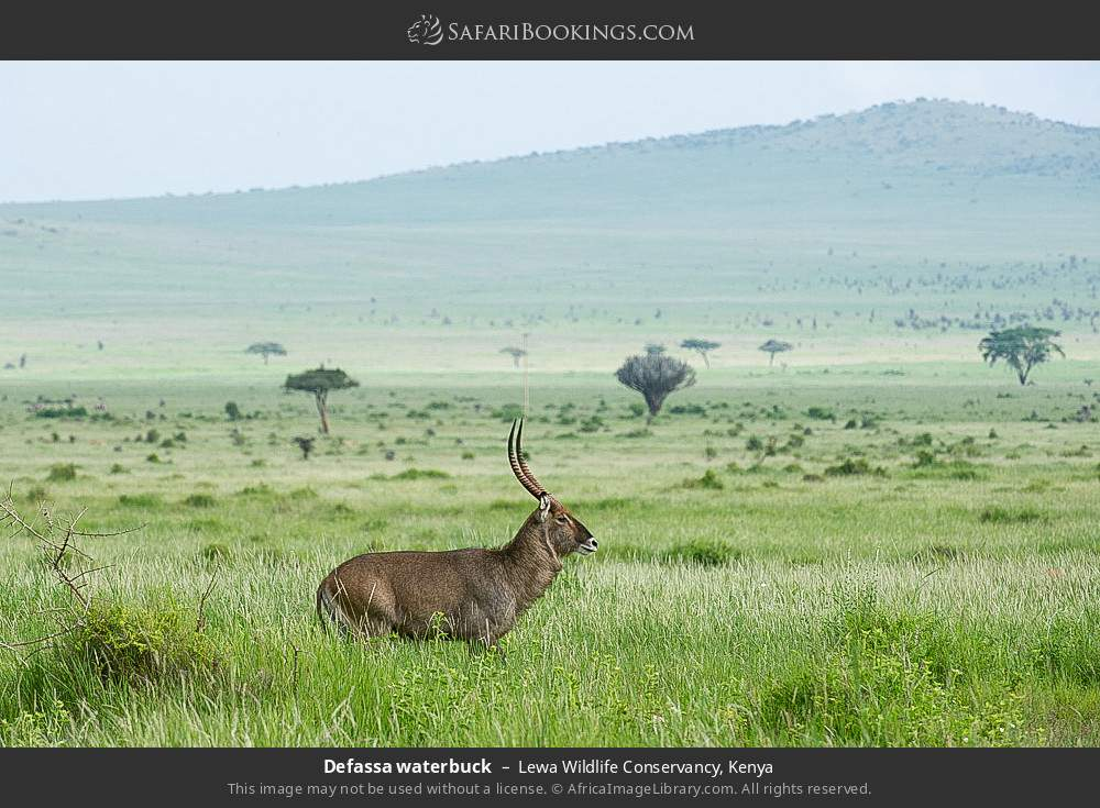 Defassa waterbuck in Lewa Wildlife Conservancy, Kenya