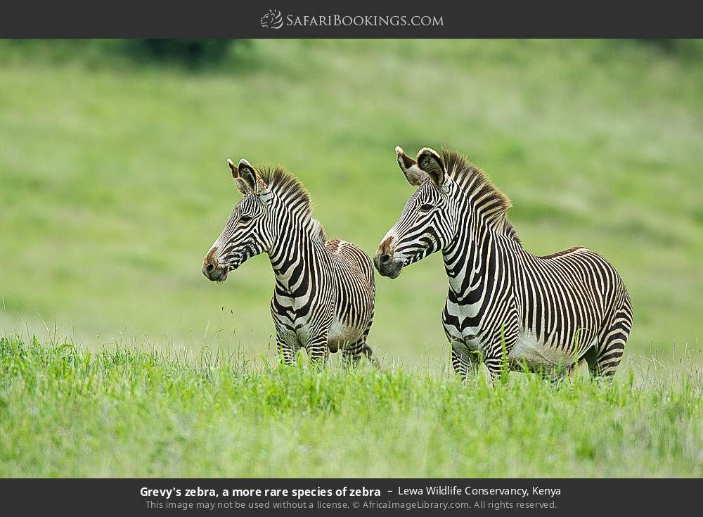 Grevy's zebra, a more rare species of zebra in Lewa Wildlife Conservancy, Kenya