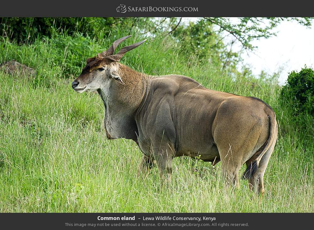 Common eland in Lewa Wildlife Conservancy, Kenya