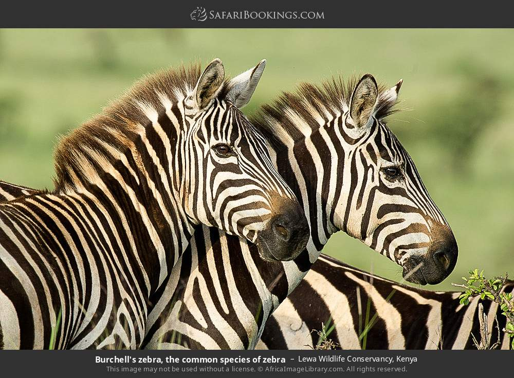 Burchell's zebra, the common species of zebra in Lewa Wildlife Conservancy, Kenya