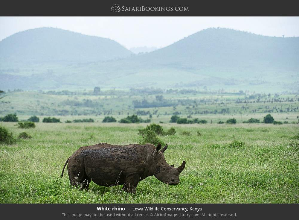 White rhino in Lewa Wildlife Conservancy, Kenya
