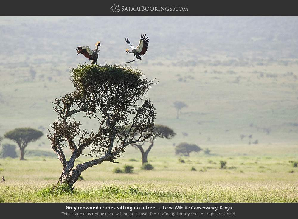 Grey crowned cranes sitting on a tree in Lewa Wildlife Conservancy, Kenya