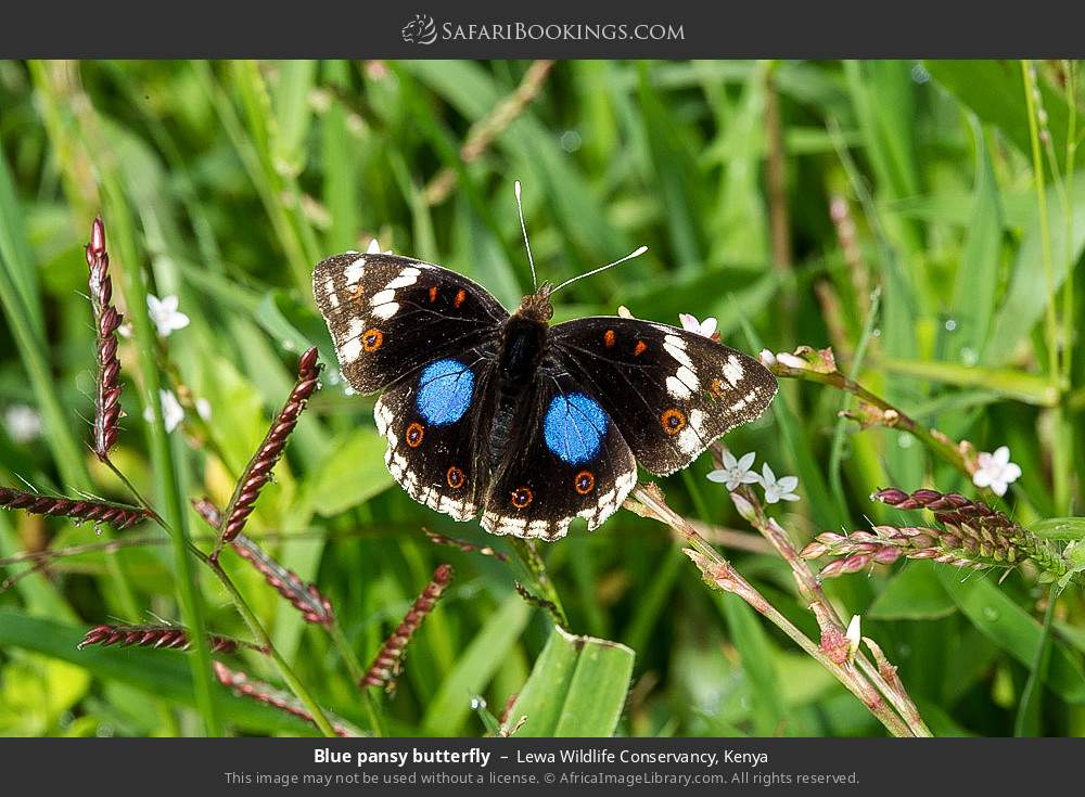 Blue pansy butterfly in Lewa Wildlife Conservancy, Kenya